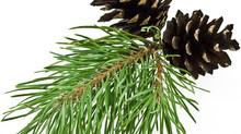 Connaissez-vous l'huile essentielle d'Epinette noire ?