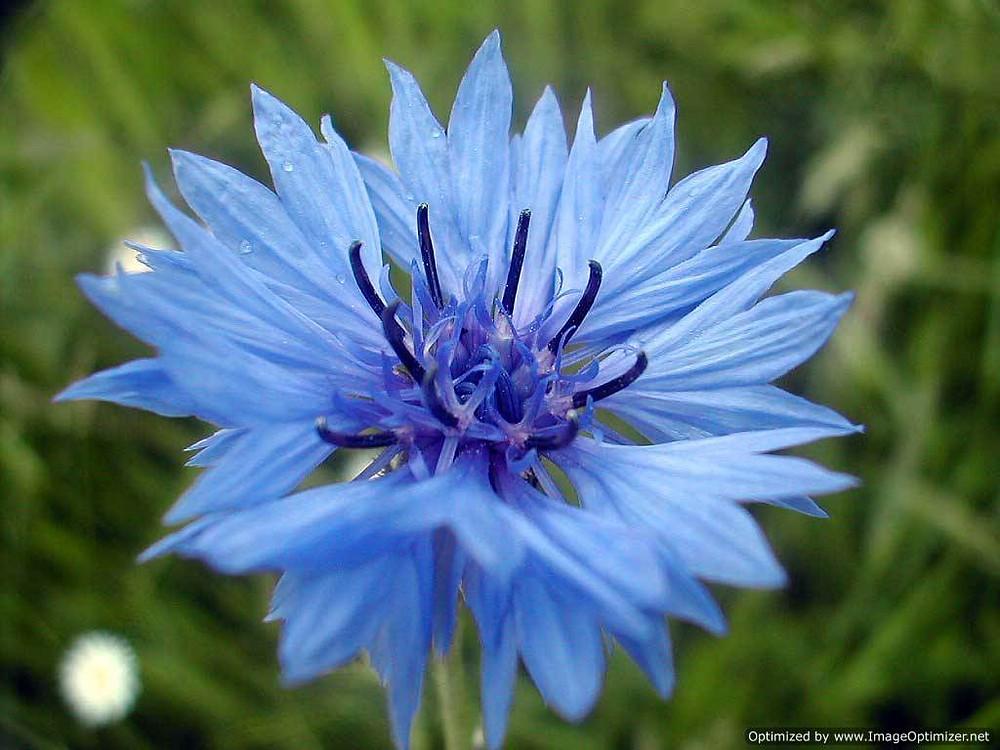 l'hydrolat de bleuet