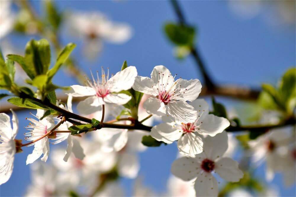 cherry plum, prunier mirobolan, dhelaroma, fleurs de bach