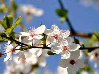 Cherry Plum - Prunier Mirobolan - n°6
