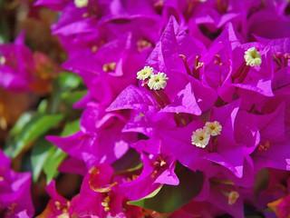 L'Élixir Floral de Bougainvillea