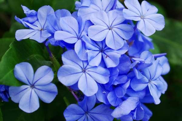 cerato, plumbago, fleurs de bach, dhelaroma