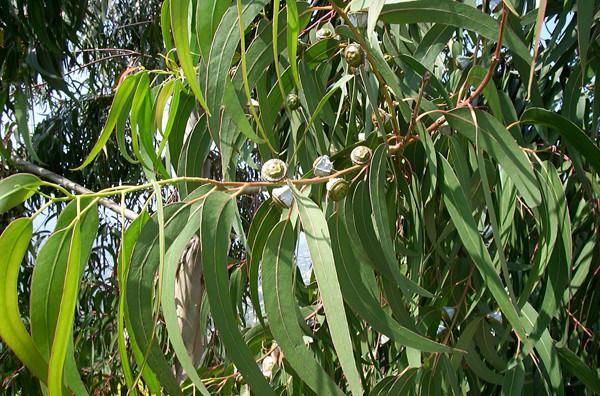 L'Huile essentielle d'eucalyptus globuleux