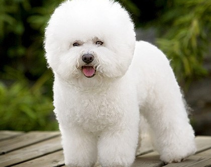 Animal Communication- Chatting with a Bichon Frise