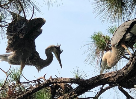 The story of an immature heron named, Corona