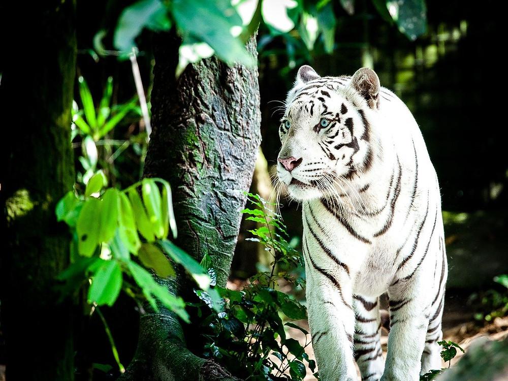 Tiger in der Natur