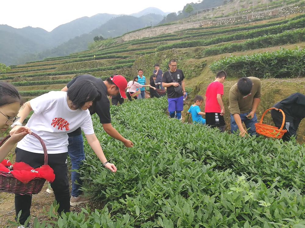 香港元朗區中學生認識環保種植鐵觀音茶樹及體驗採茶活動。