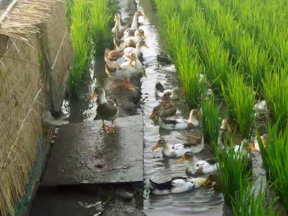 鴨稻共生施肥