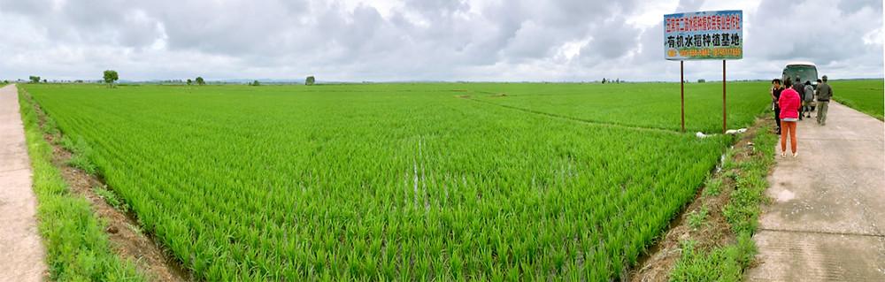 參觀五常市二坡興盛村合作社的稻田