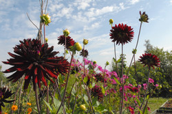dahlias and cosmos
