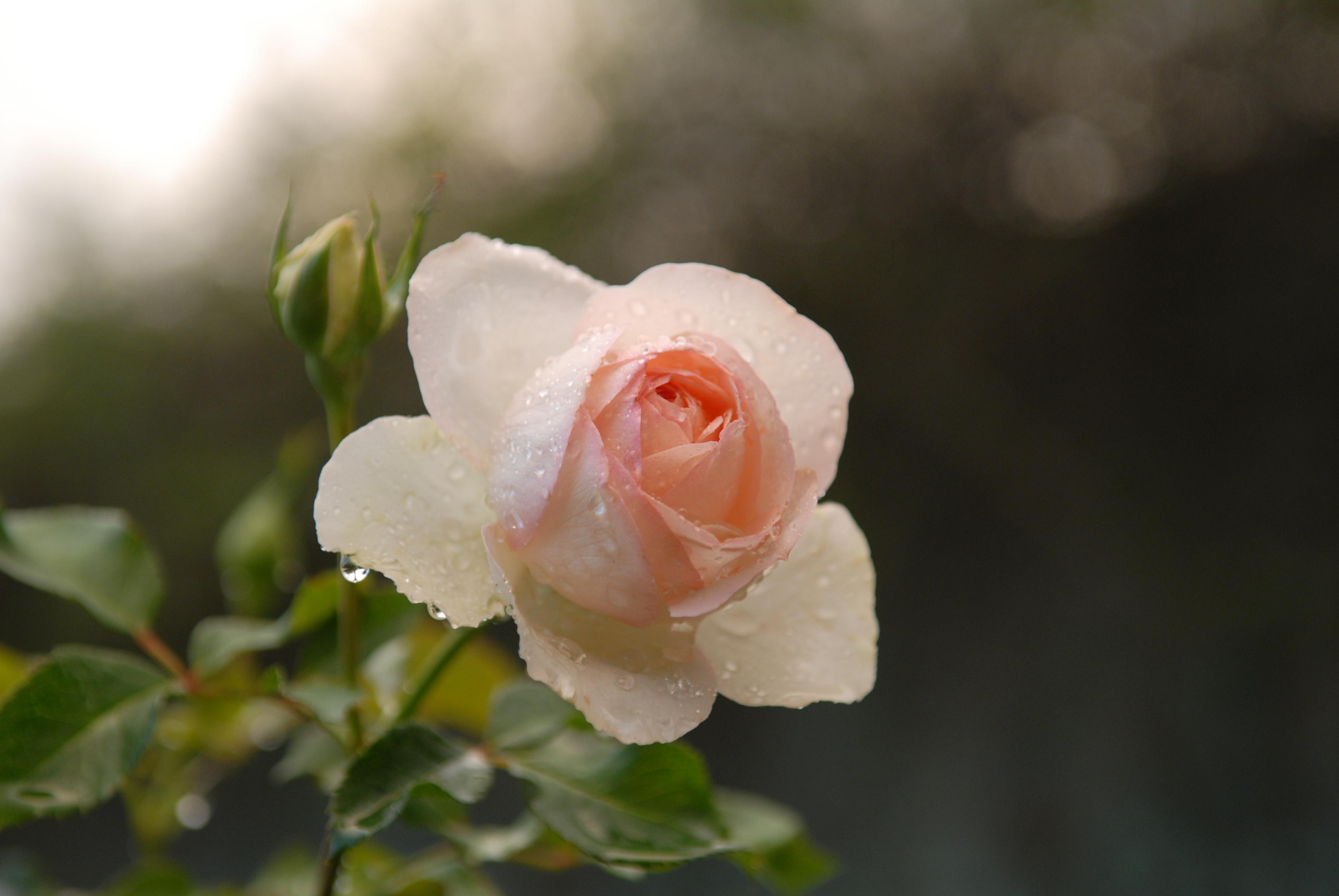 rose - Ninfa Gardens, Italy