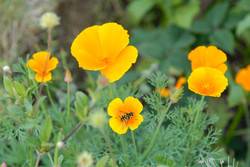 orange poppy and bee
