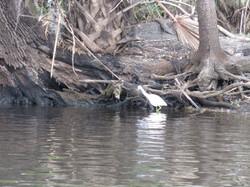 Kayak with Manatees at Blue Springs, Orange City, Deland, FL (13)