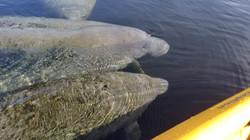 Manatee Kayaking Tour Blue Springs