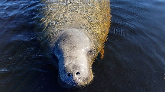 Manatee Nose _ Blue Spring, SP, Orange City