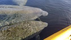 Manatee Kayaking Tour, Blue Springs State Park, Orange City FL (7)