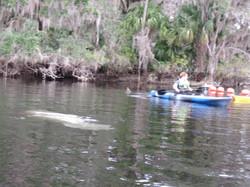 Kayak with Manatees at Blue Springs, Orange City, Deland, FL (5)
