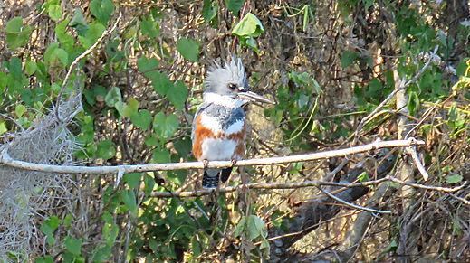 Belted Kingfisher on Florida Wildlife Ka