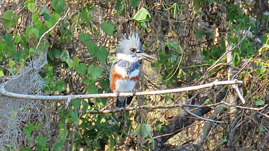Belted Kingfisher on Florida Wildlife Ka
