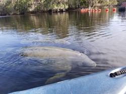 Manatee Kayaking Tour, Blue Springs State Park, Orange City FL (5)
