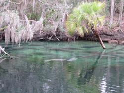Kayak with Manatees at Blue Springs, Orange City, Deland, FL (10)