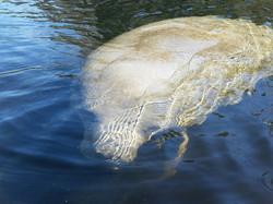 manatee tours, kayak tours, central florida, blue springs, manatee kayaking tours (10)