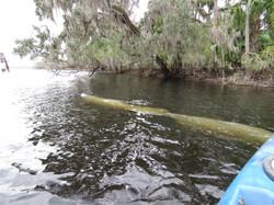 Kayak with Manatees at Blue Springs, Orange City, Deland, FL (14)