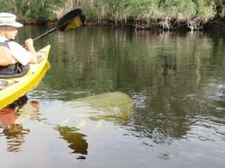 Kayak with Manatees at Blue Springs, Orange City, Deland, FL (3)