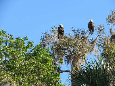 Florida Kayaking Tour, Bald Eagles.JPG