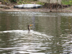 Kayak with Manatees at Blue Springs, Orange City, Deland, FL (15)