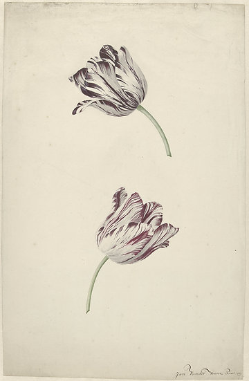 Two Red-and-white Tulips