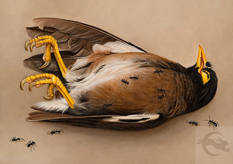 Indian Myna With Ants oil painting by Amy Duncan