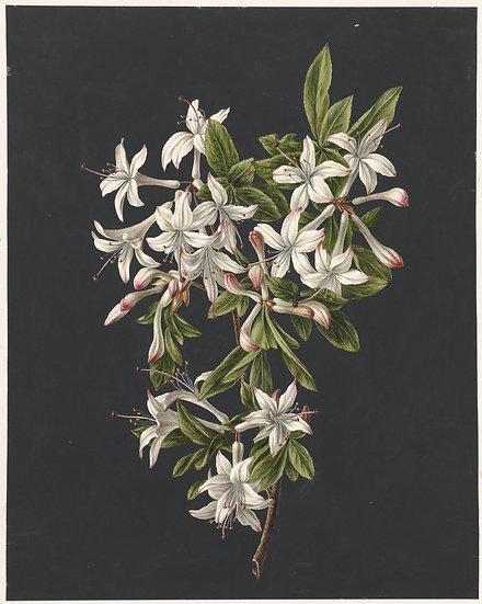 Branch of Azaleas in Bloom