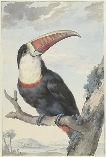 Red-billed Toucan