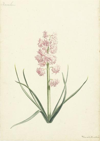 Hyacinth Koralien