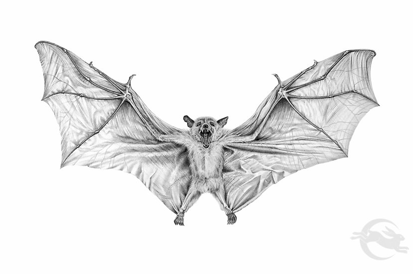 Cave Nectar Bat graphite drawing by Amy Duncan