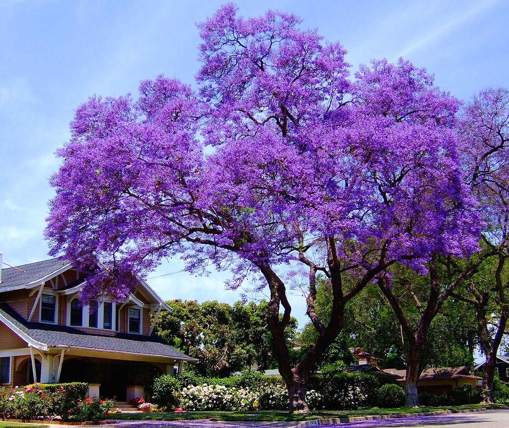 Piantare Alberi Di Paulonia paulownia tomentosa: l'albero che cresce in tempi record e