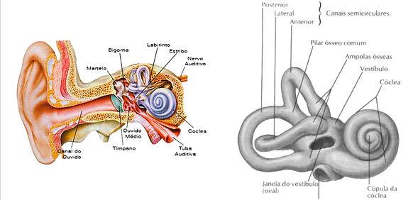 Anatomia do ouvido e cóclea