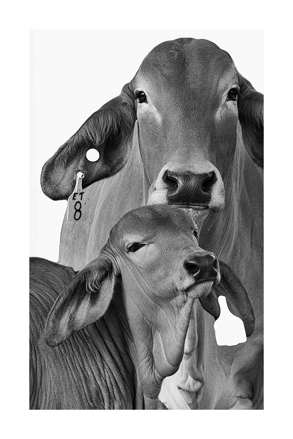 Cow & Calf 3