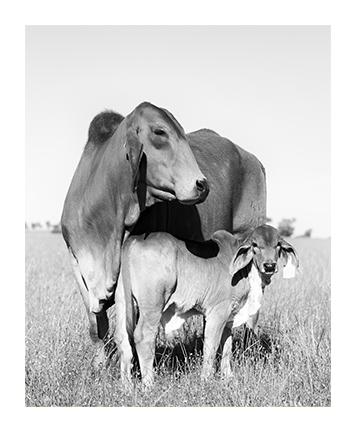 Cow & Calf 2