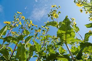 Silphie plant