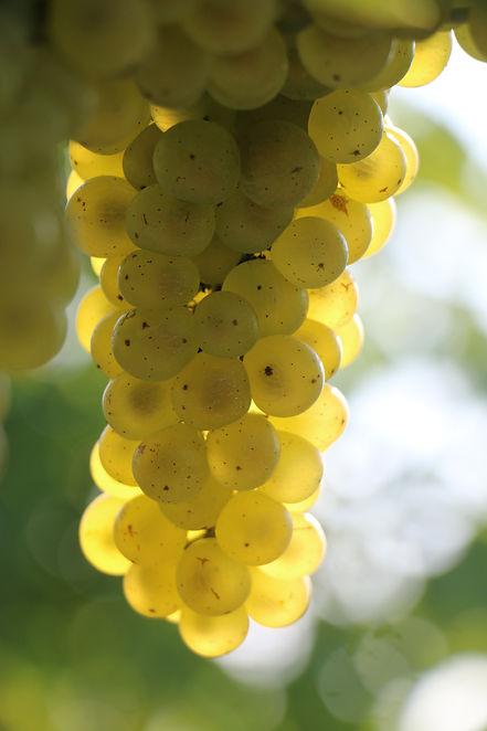 Grapes-Bellangelo-SeyvalBlanc.JPG