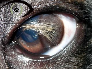 Auxilio, nasceram pelos no olho de meu pet!
