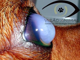 O olho do meu pet está ficando cada dia mais azul!