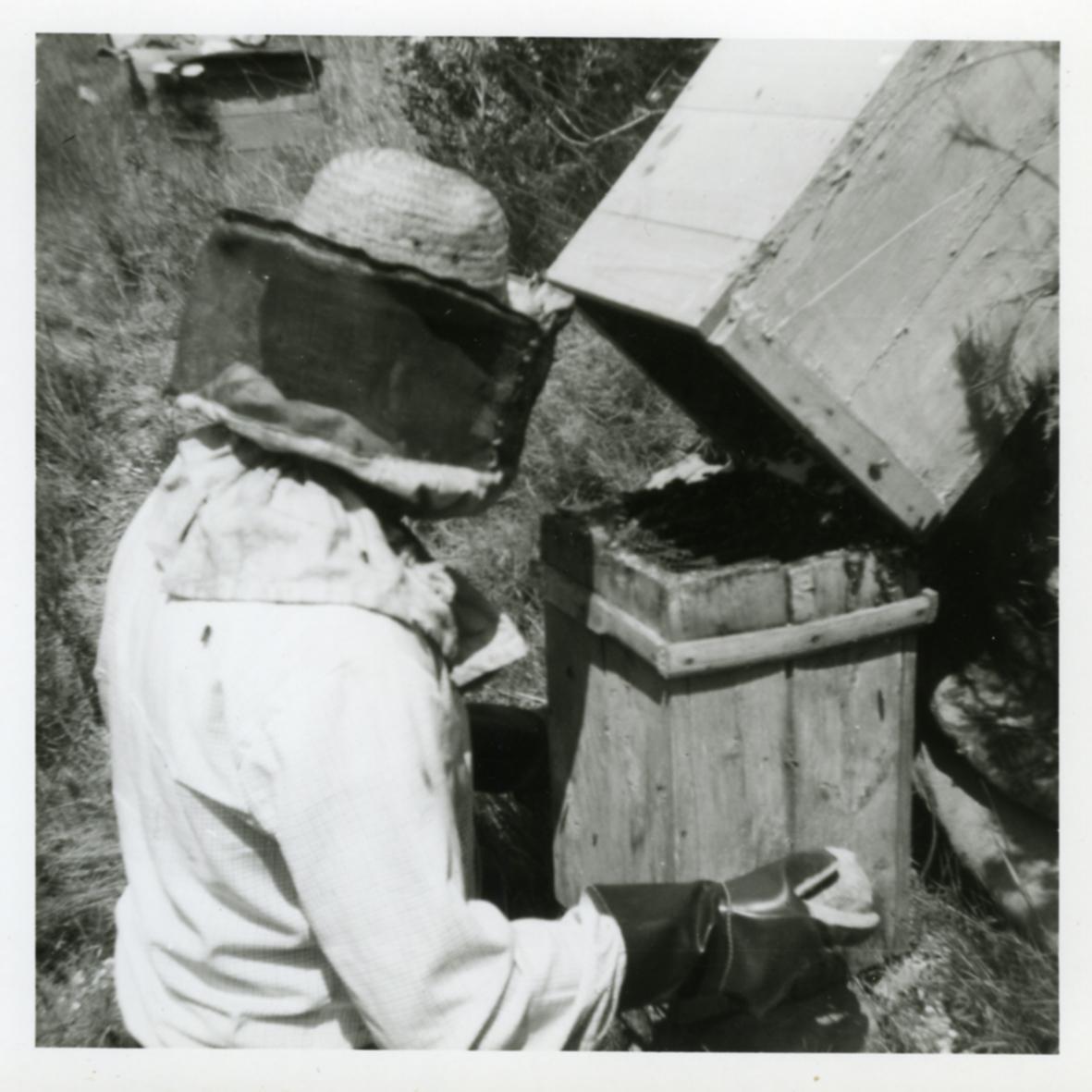 Mirant les colmenes d'abelles