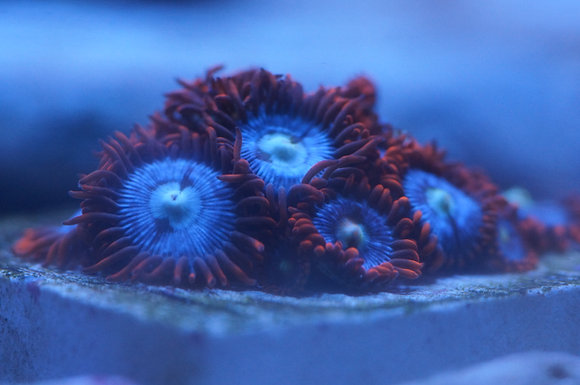 Fire & Ice Zoanthids (Click for Sizes)