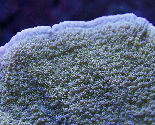 Purple Polyped Elephant Montipora