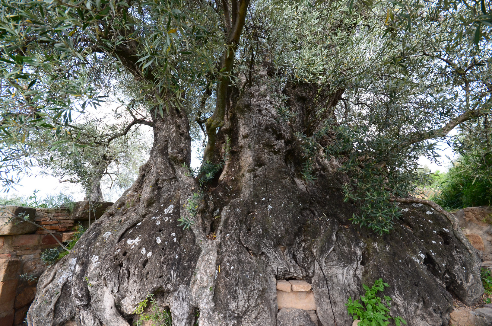 olivera de Nadal