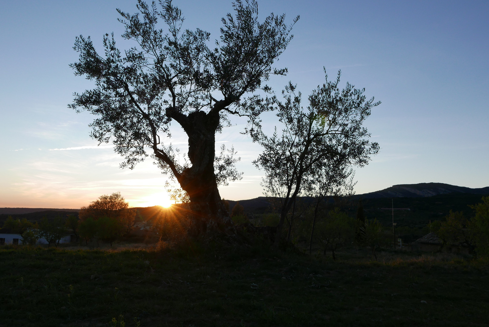 atardecer con olivo
