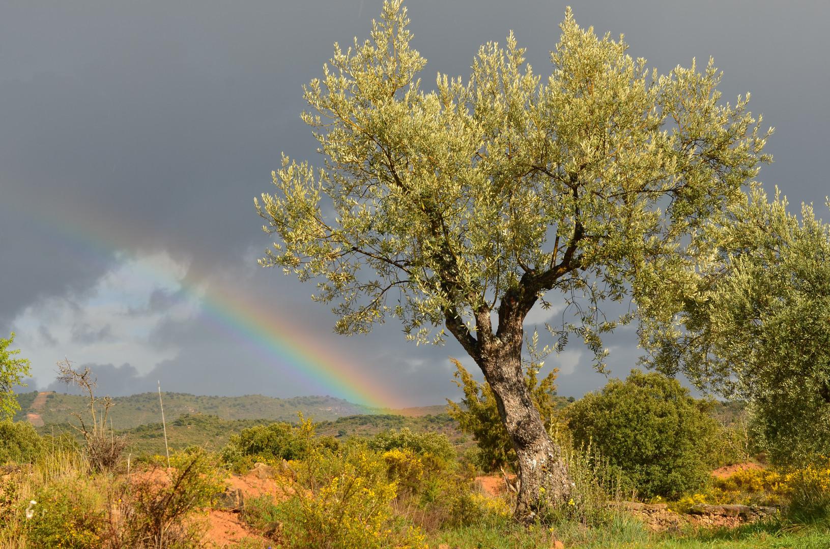 Olivo con arco iris